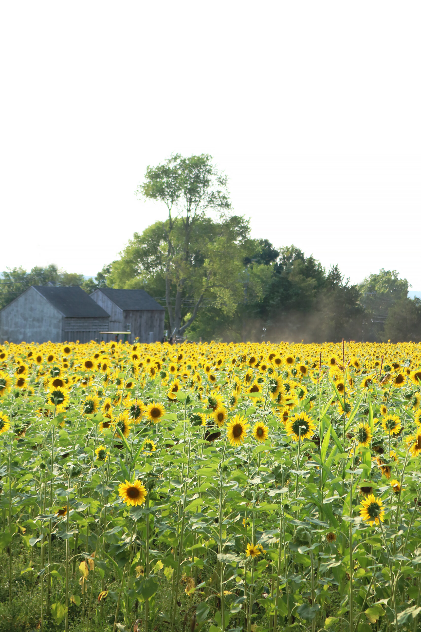 Connecticut Sunflower Fields and Fall favorite farms, sunflower field outfits, sunflower field photoshoot || Darling Darleen Top CT Lifestyle Blogger